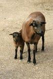 Moutons du Cameroun - Afrique Photographie stock libre de droits