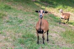Moutons du Cameroun sur le pré Photo stock