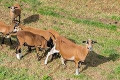Moutons du Cameroun sur le pré Photographie stock
