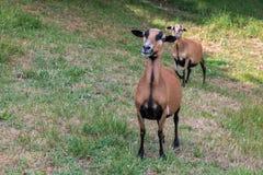 Moutons du Cameroun sur le pré Images libres de droits
