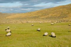 Moutons du Suffolk - Tierra Del Fuego - Chili photos stock