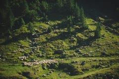 Moutons du troupeau OD Image stock