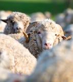 Moutons du troupeau regardant l'appareil-photo Photographie stock