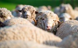 Moutons du troupeau regardant l'appareil-photo Photo stock