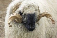 Moutons du Valais Blacknose Photos stock
