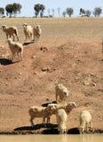 Moutons en Australie Photographie stock