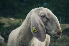 Moutons en Cinque Torri, ` Ampezzo, dolomites, Italie de Cortina D photos stock