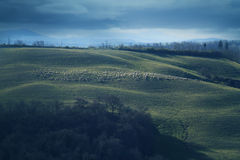 Moutons en collines toscanes Images stock