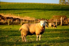Moutons en Ecosse Photo stock