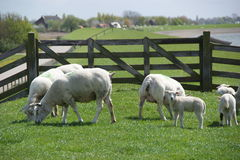 Moutons en Hollandes photo stock