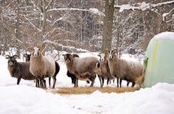 Moutons en horaire d'hiver Photos libres de droits