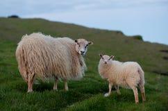 Moutons en Islande image libre de droits