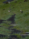 Moutons en Islande Photo libre de droits