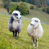 Moutons en montagne photographie stock libre de droits