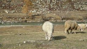 Moutons en montagnes : troupeau de bétail près de rivière banque de vidéos