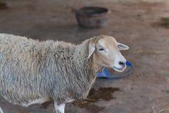 Moutons en nature Photo libre de droits