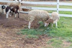 Moutons en nature Image stock