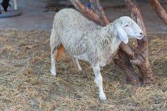 Moutons en nature Photographie stock