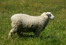 Moutons en Nouvelle Zélande Photo libre de droits