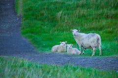 Moutons en parc national de Skaftafell Photos stock
