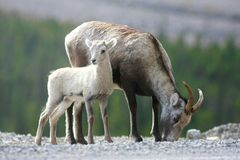 Moutons en pierre dans les territoires de Yukon photos stock