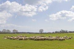 Moutons en Toscane Photographie stock libre de droits