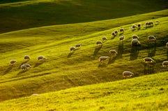 Moutons en Toscane Photo libre de droits