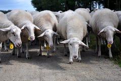 Moutons entendus parler Photos libres de droits