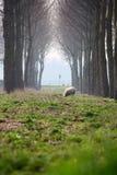 Moutons entre les arbres Photos libres de droits