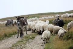 Moutons et âne sur des crêtes de montagne Photographie stock libre de droits
