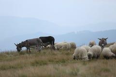 Moutons et âne sur des crêtes de montagne Photos libres de droits