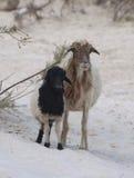 Moutons et agneau. Île d'île de Socotra Images stock