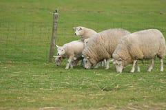 Moutons et agneau Photo libre de droits