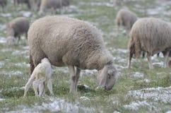Moutons et agneau Images libres de droits