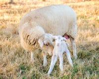 Moutons et agneau Image stock