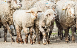 Moutons et agneau Photo stock