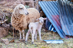 Moutons et agneau de bébé Image libre de droits