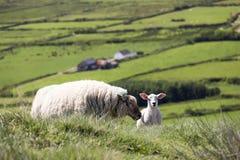 Moutons et agneau de mère dans la campagne irlandaise Image libre de droits