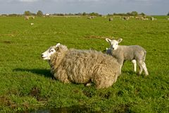 Moutons et agneau en Hollandes Photos stock