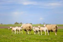 Moutons et agneaux image stock