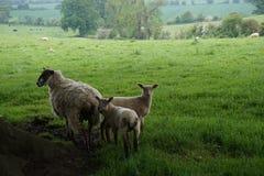 Moutons et agneaux Photos libres de droits