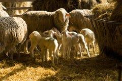 Moutons et agneaux Photo stock