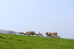 Moutons et agneaux courants Image libre de droits