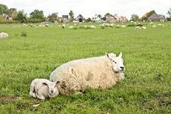 Moutons et agneaux dans le printemps Image stock