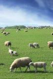 Moutons et agneaux frôlant dans la campagne britannique Images libres de droits