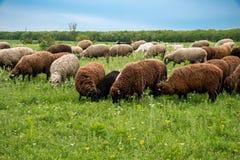 Moutons et agneaux frôlant sur le gisement de ressort Images libres de droits
