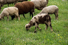 Moutons et agneaux frôlant sur le gisement de ressort Image stock