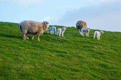 Moutons et agneaux sur la digue photos libres de droits