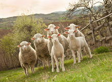 Moutons et agneaux sur le pâturage Photo stock