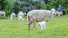 Moutons et agriculteur Photo stock